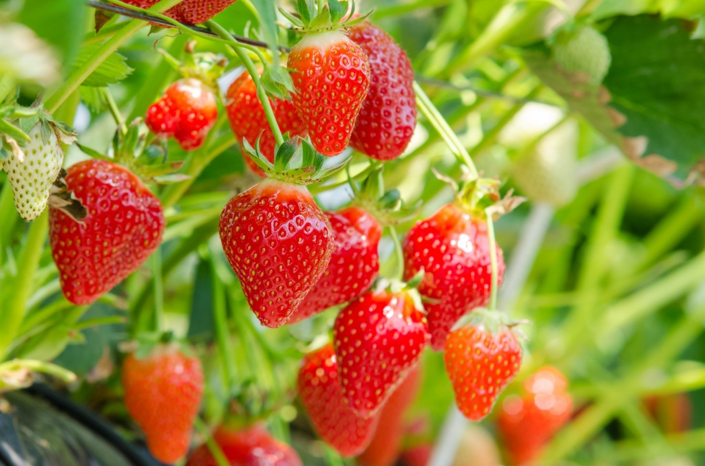 fresas salud dental en primavera